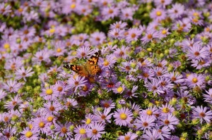 asters with painted lady