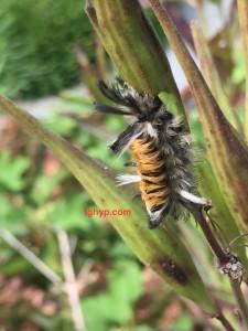 Tussock moth catipillar
