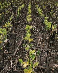 glyphosate treated soy fields_Bloomberg