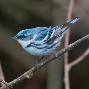 cerulean warbler wikipedia-